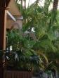 Angus aux Caraïbes - Photo Ti-Bone